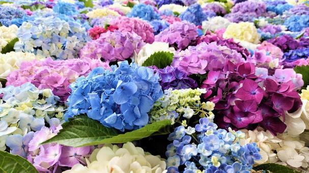 Hydrangea flower hand water 003