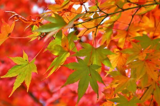 Maple autumn leaves maple up autumn leaves up autumn