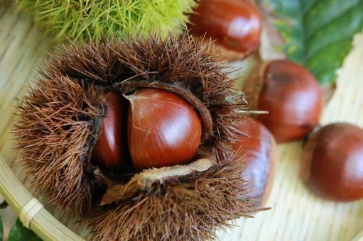 Autumn Harvest Festival Chestnut chestnut