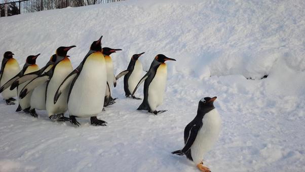 Hokkaido Asahikawa City Winter Festival at Asahiyama Zoo Penguin Marching