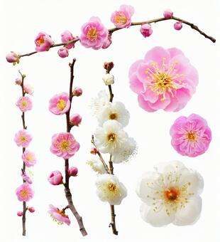Set of plum blossoms (PSD with background transmission / cut-out pass)