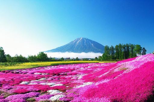 米萨樱花盛开