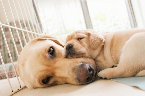 朋友和父母拉布拉多獵犬