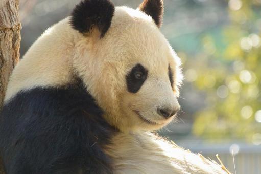 Giant panda with profile 16