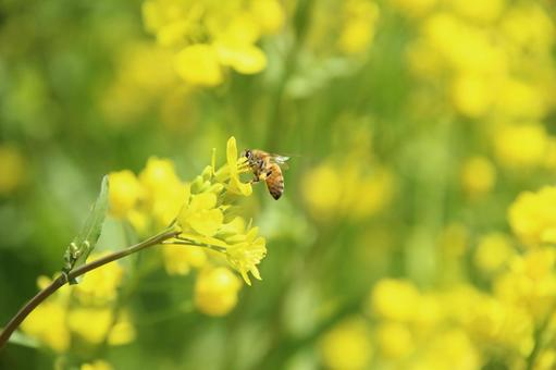 Bee and rape blossoms