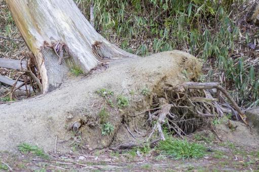 폭풍에 송두리째 무너 뜨리 된 거목의 뿌리