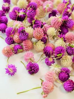 Dried flowers of Senboku, Sennichikou, Head