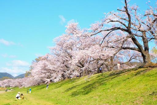 Sewaritei cherry blossoms