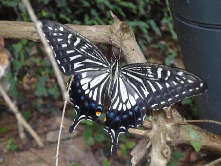 날개를 펼친 호랑 나비