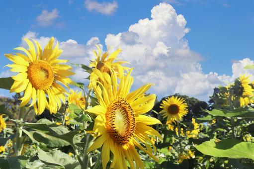 向日葵 向日葵的一側 藍天和積雨雲 夏季圖像