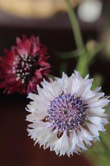 꽃병에 꽂은 수레 국화