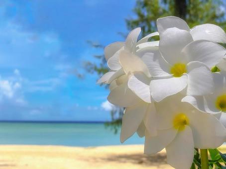 Plumeria blooming on the beach