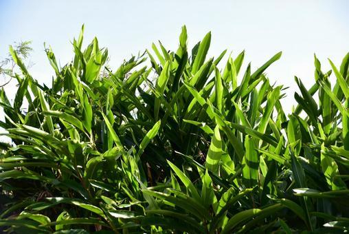산닌의 잎