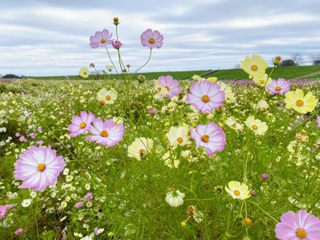 Pink and yellow cosmos