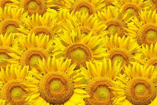 Sunflower One side, many, many summer image background material