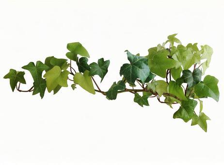 Ivy ivy