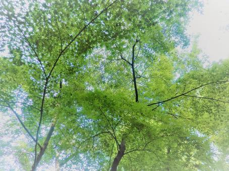 Ritsurin Garden Ao Kaede