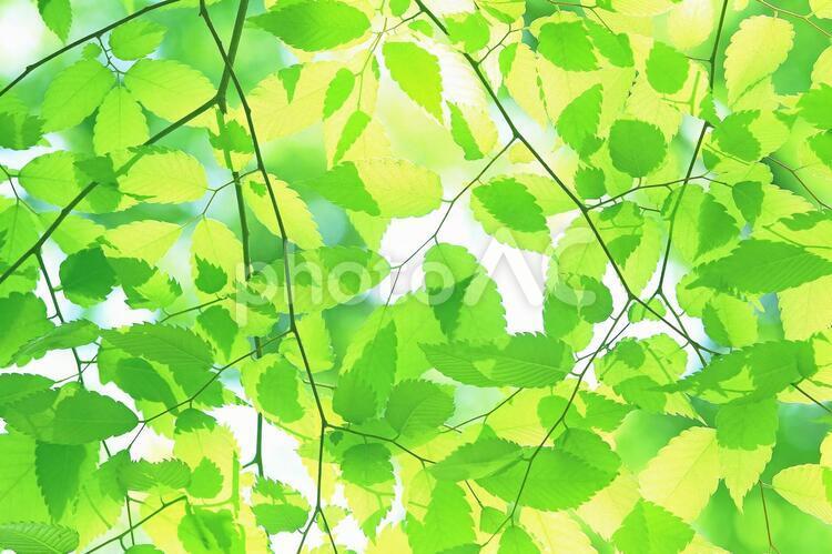新緑の葉っぱ ケヤキ 欅の写真