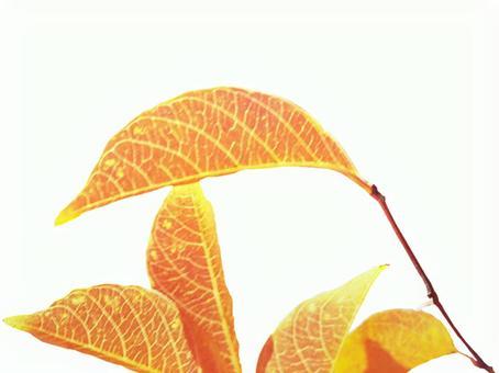 Autumn leaves Kiritori 02
