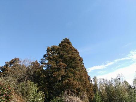 침엽수와 푸른 하늘 풍경