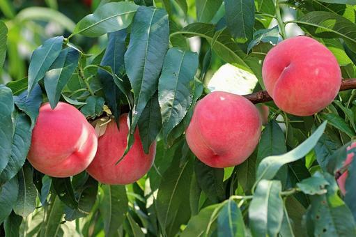 Fukushima peach 2021_05