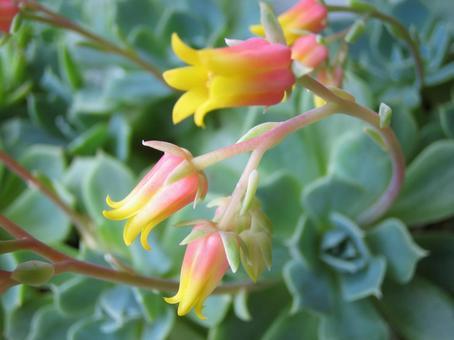 Seven Lucky Gods Flower