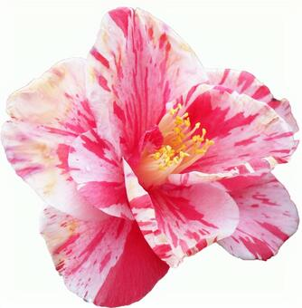 White and pink camellia flowers (with PSD)