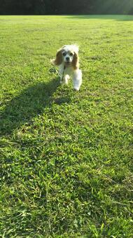 Running Cavalier