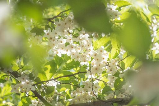 Sunbeams flowers