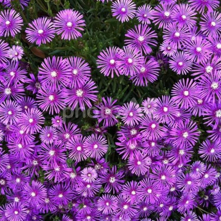 開花した紫の花の写真