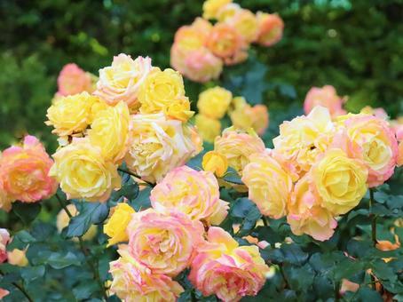 許多玫瑰綻放