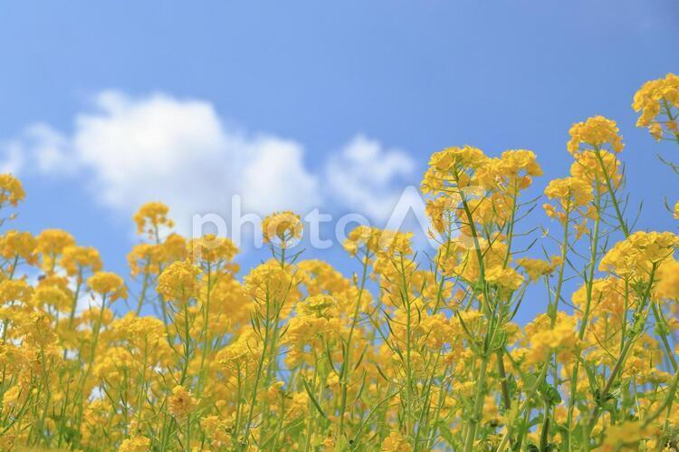 菜の花と青空2の写真