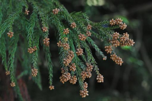 Male flower of cedar-season of cedar pollen
