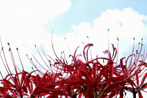 가을 하늘에 빨간 피안 꽃