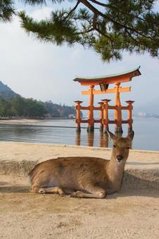 Torii and deer of Miyajima / Hiroshima · Miyajima