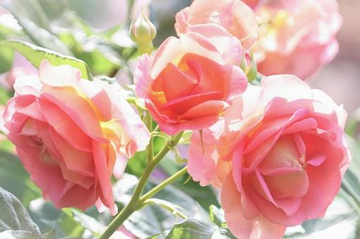 玫瑰在柔和的陽光下綻放