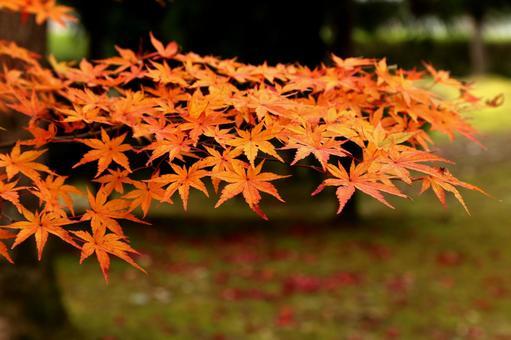 Kyoto Autumn leaves Ninnaji Temple in Kyoto