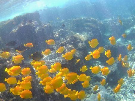 하와이의 바다에서 다이빙, 노란 열대어