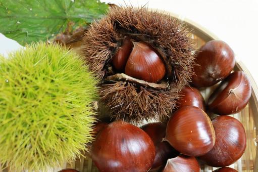Chestnut-up chestnut