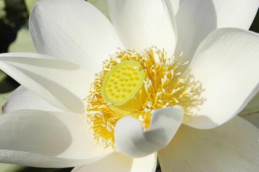 연꽃의 꽃 : 연근의 계절