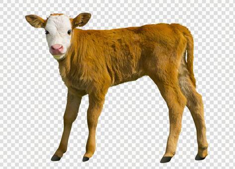 Cute calf_cutout PSD