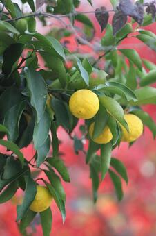 유자 열매