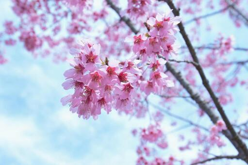 Cherry blossoms of Chion-in