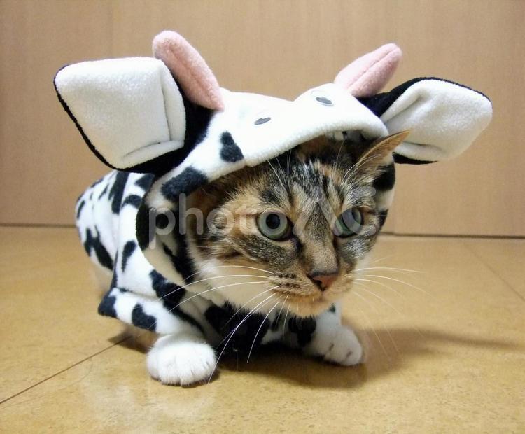 牛になった猫4の写真