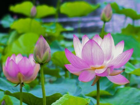 초여름에 피는 연꽃 연못