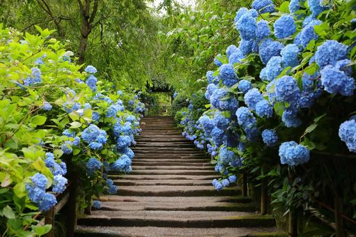 The hydrangea of Meigetsuin, Kamakura, which bloomed beautifully