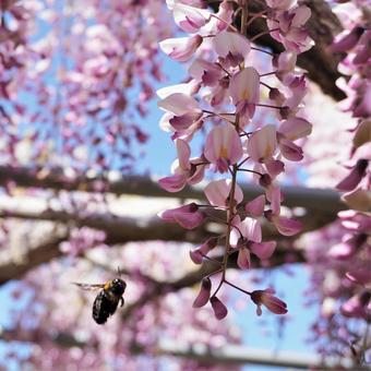등나무 꽃과 꿀벌