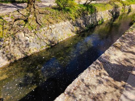 桜吹雪(京都・哲学の道)