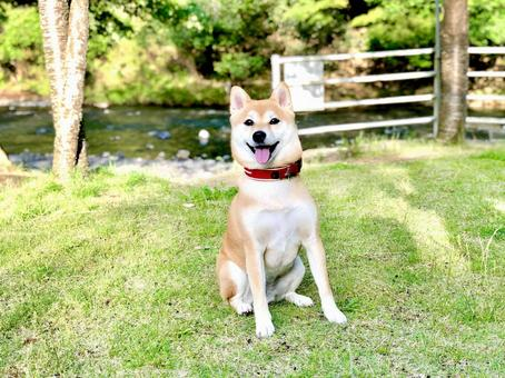 Shiba Inu on the banks of the river