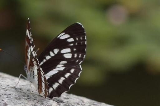흑백 알락 나비